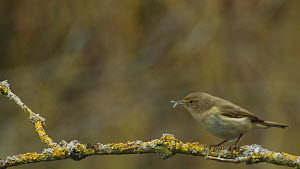 Willow warbler (Phylloscopus trochilus) eating insect prey, River Stour, Dorset, England, UK, April.  -  Mick Jenner