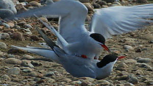 Pair of Common terns (Sterna hirundo) mating, Rye Harbour, East Sussex, England, UK, May.  -  Mick Jenner