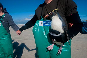 SANCCOB Hands Across the Sand event to raise awareness for seabird and marine conservation, with volunteer holding 'Rocky' the southern rockhopper penguin (Eudyptes chrysocome) Table Bay, near Cape To... - Cheryl-Samantha  Owen