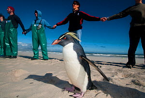 SANCCOB Hands Across the Sand event, in strong wind, to raise awareness for seabird and marine conservation, with 'Rocky' the Southern rockhopper penguin (Eudyptes chrysocome) on the beach. Table Bay,... - Cheryl-Samantha  Owen