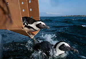 African penguin, (Spheniscus demersus) being released after rehabilitation at Southern African Foundation for the Conservation of Coastal Birds (SANCCOB). Release site near to Robben Island in Table B... - Cheryl-Samantha  Owen