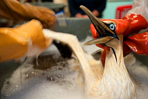 Cape Gannet (Morus capensis) having a wash to remove oil from feathers, during hand rearing and rehabilitation at the Southern African Foundation for the Conservation of Coastal Birds (SANCCOB). Cape... - Cheryl-Samantha  Owen