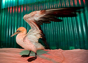 Cape gannet (Morus capensis) in rehabilitation at the Southern African Foundation for the Conservation of Coastal Birds (SANCCOB). This Cape gannet is drying in a heated pen (a heat lamp illuminates t... - Cheryl-Samantha  Owen
