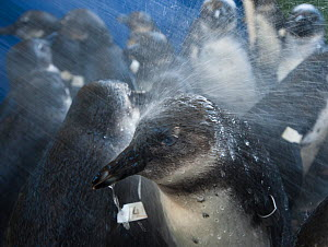 African penguins (Spheniscus demersus) sprayed with water after feeding, whilst in rehabilitation at Southern African Foundation for the Conservation of Coastal Birds (SANCCOB) Cape Town, South Africa... - Cheryl-Samantha  Owen