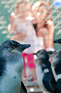 African penguins (Spheniscus demersus) in rehabilitation at Southern African Foundation for the Conservation of Coastal Birds (SANCCOB) with mother and child looking in. Cape Town South Africa. Novemb...  -  Cheryl-Samantha  Owen