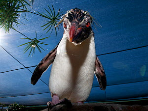 Southern Rockhopper penguin (Eudyptes chrysocome) tame bird 'Rocky' used for educational purposes, Southern African Foundation for the Conservation of Coastal Birds (SANCCOB), Cape Town, South Africa.... - Cheryl-Samantha  Owen