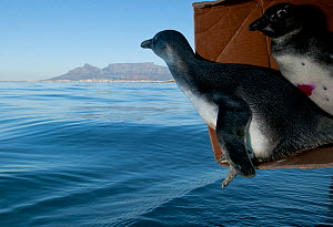 African penguins (Spheniscus demersus) being released after rehabilitation at Southern African Foundation for the Conservation of Coastal Birds (SANCCOB) near Robben Island in Table Bay. Cape Town, So...  -  Cheryl-Samantha  Owen