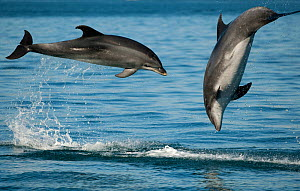 Bottlenose Dolphins (Tursiops truncatus) porpoising playfully, Sado Estuary, Portugal - Pedro  Narra
