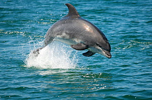 Bottlenose Dolphin (Tursiops truncatus) porpoising, Sado Estuary, Portugal - Pedro  Narra