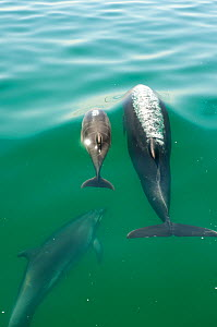 Bottlenose Dolphin (Tursiops truncatus) family swimming near the surface, Sado Estuary, Portugal  -  Pedro  Narra