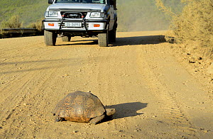 Leopard tortoise (Stigmachelys pardalis) crossing a road with a car approaching, Swartberg Mountains, Western Cape, South Africa. - Tony Phelps