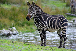 Male Cape mountain zebra (Equus zebra zebra), De Hoop Nature Reserve, Western Cape, South Africa.  -  Tony Phelps