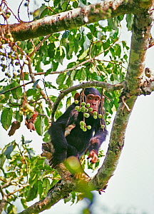 Young Chimpanzee in fruiting fig tree (Pan troglodytes schweinfurthii) Tongo, Virunga National Park, Kivu, Democratic Republic of Congo - Jabruson