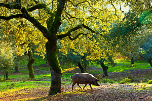 Iberian black pig foraging in oak woodland, Sierra de Aracena Natural Park, Huelva, Andalucia, Spain, Europe. Breed used to produce Iberico ham / Jamon Iberico  -  Juan  Carlos Munoz