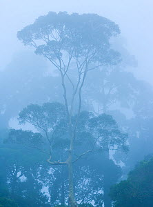 View of tropical rainforest trees shrouded in mist, Danum Valley Conservation Area, Borneo, Malaysia.  -  Juan  Carlos Munoz
