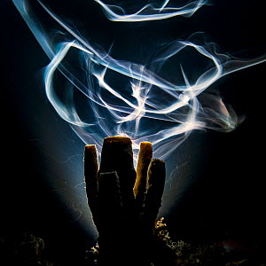 A long exposure renders Bar jacks (Carangoides ruber) as ghostly trails as they swim around a sponge, on a coral reef, at night. East End, Grand Cayman, Cayman Islands. Overall winner of GDT competiti... - Alex  Mustard