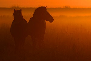 Exmoor ponies at sunrise, one of the oldest and most primitive horse breeds in Europe, Keent Nature Reserve, The Netherlands, September.  -  Wild  Wonders of Europe / Widstr