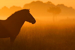 Exmoor pony at sunrise, one of the oldest and most primitive horse breeds in Europe, Keent Nature Reserve, The Netherlands, September.  -  Wild  Wonders of Europe / Widstrand