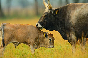 Maremmana primitive cow (Bos taurus) with crossbreed calf, Aurochs breeding site run by The Taurus Foundation, Keent Nature Reserve, The Netherlands.  -  Wild  Wonders of Europe / Widstr