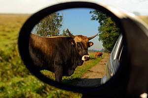 Second generation crossbreed bull (Bos taurus) seen from wing mirror, bred  for the Aurochs breeding site run by The Taurus Foundation, Keent Nature Reserve, The Netherlands.  -  Wild  Wonders of Europe / Widstr