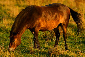 Exmoor ponies, one of the oldest and most primitive horse breeds in Europe, Keent Nature Reserve, The Netherlands.  -  Wild  Wonders of Europe / Widstr