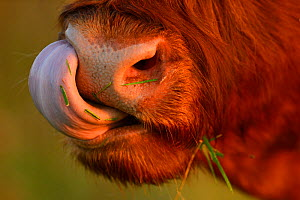 Highland cattle cow (Bos taurus) cleaning nose with tongue, Aurochs breeding site run by The Taurus Foundation, Keent Nature Reserve, The Netherlands, September. - Wild  Wonders of Europe / Widstrand