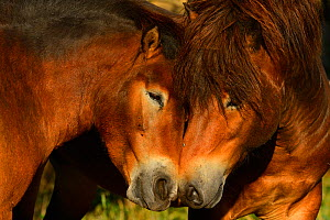 Exmoor ponies, one of the oldest and most primitive horse breeds in Europe, Keent Nature Reserve, The Netherlands, September. - Wild  Wonders of Europe / Widstrand