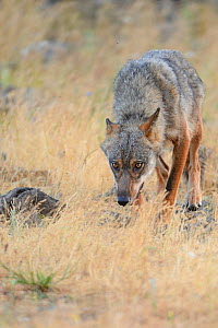 Eurasian grey wolf (Canis lupus lupus) at a vulture watching site in the Madzharovo valley, Eastern Rhodope Mountains, Bulgaria, May 2013.  -  Wild  Wonders of Europe / Widstr