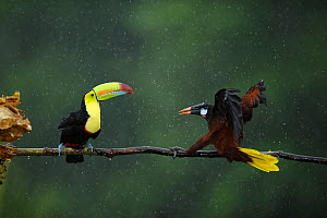 Keel billed toucan (Ramphastos sulfuratus) in aggressive encounter with Montezuma Oropendola (Psarocolius montezuma) in rain, Laguna del Lagarto, Santa Rita, Costa Rica. Front cover bookplate of the H...  -  Bence  Mate