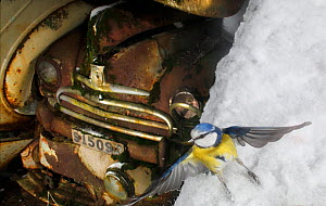 Blue tit (Cyanistes caeruleus) taking off in the snow, with old cars in the background, Bastnas, Sweden, February. Winner of the Fritz Polking Prize at the GDT competition 2013 and winner of the Portf...  -  Pal Hermansen