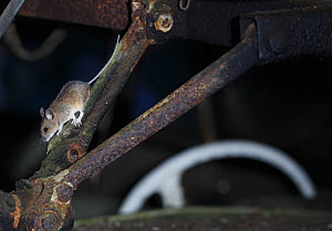 Wood mouse (Apodemus sylvaticus) inside an old car, Bastnas, Sweden, February. Winner of the Fritz Polking Prize at the GDT competition 2013 and winner of the Portfolio category in the Melvita Nature...  -  Pal Hermansen