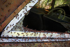 Wood ants (Formica rufa) around the edge of a broken window in an old car, Bastnas, Sweden, July. Winner of the Fritz Polking Prize at the GDT competition 2013 and winner of the Portfolio category in... - Pal Hermansen
