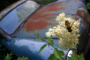 Hoverfly (Syrphidae) on a Fern-leaf dropwort (Filipendula vulgaris) flower, with an old car in the background, Bastnas, Sweden, July. Winner of the Fritz Polking Prize at the GDT competition 2013. - Pal Hermansen