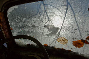 Silhouette of a Blue tit (Cyanistes / Parus caeruleus) seen through the windscreen of an old car, Bastnas, Sweden, December. Winner of the Fritz Polking Prize at the GDT competition 2013 and winner of... - Pal Hermansen