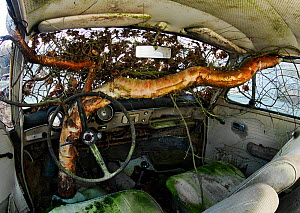 Birch tree (Betula) growing inside an old car, Bastnas, Sweden, January. Winner of the Fritz Polking Prize at the GDT competition 2013. - Pal Hermansen