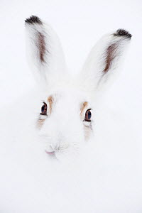 Mountain hare (Lepus timidus) portrait. Vauldalen, Sor-Trondelag, Norway. Highly commended in the GDT 2013 Competition.  -  Erlend  Haarberg