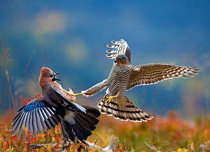 Sparrowhawk (Accipiter nisus) attacking Jay (Garrulus glandarius) Telemark, Norway, September  -  Pal Hermansen