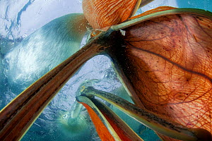Dalmatian pelicans (Pelecanus crispus) underwater view of group feeding, Lake Kirkini, Greece. Highly commended in the GDT competition 2013. Commended in the Wildlife Photographer of the Year Awards c...  -  Bence  Mate