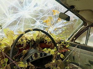 Interior of old abandoned car, with nettles growing inside and a smashed windscreen, Varmland, Sweden  -  Pål Hermansen,Pal Hermansen