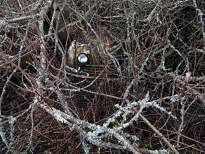One car headlight visible through a tangle of branches in a 'car graveyard' Bastnas, Sweden. January - Pal  Hermansen