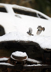 Nuthatch (Sitta europaea) chasing away and Black tit (Periparus ater)  in car graveyard, Varmland, Sweden, December - Pål Hermansen,Pal Hermansen