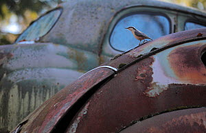 Nuthatch (Sitta europaea) on bonnet of a rusty abandoned car in a 'car graveyard' Bastnas, Sweden, April - Pal  Hermansen