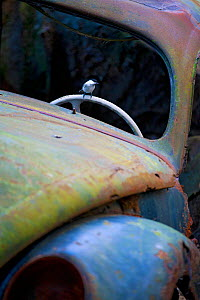 Willow tit (Parus montanus) perched on the steering wheel of an abandoned car in 'car graveyard', Bastnas, Sweden, December  -  Pal Hermansen