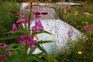 Rosebay willowherb (Chamerion angustifolium) in flower by abandoned car in 'car graveyard', Bastnas, Sweden. July - Pal  Hermansen