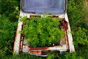 Dropwort (Filipendula vulgaris) growing in the boot of an old abandoned car in 'car graveyard', Bastnas, Sweden, July. Winner of the Portfolio category in the Melvita Nature Images Awards competition...  -  Pal Hermansen