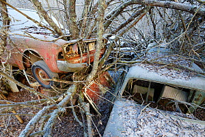 Trees growing through abandoned cars in 'car graveyard' Bastnas, Sweden, December - Pal  Hermansen