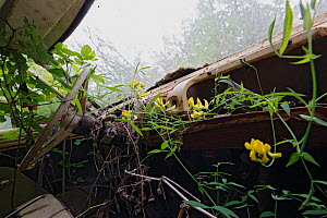 Meadow vetchling (Lathyrus pratensis) and brambles (Rubus) growing on the dashboard of the abandoned car in 'car graveyard' Bastnas, Sweden, July  -  Pal Hermansen