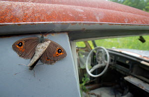 Northern Wall Brown (Lasiommata petropolitana) resting on an old abandoned car in a 'car graveyard', Bastnas, Sweden. June - Pal  Hermansen