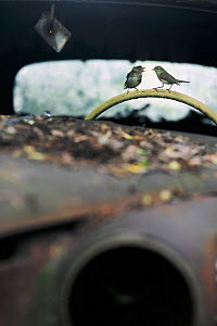 Willow warbler (Phylloscopus trochilus) feeding young on steering wheel of abandoned car in 'car graveyard' Varmland, Sweden, June - Pal Hermansen