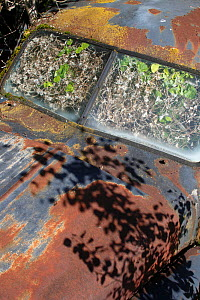 Abandoned rusty car in 'car graveyard' acting as a greenhouse with plants growing inside, Varmland, Sweden, July - Pal  Hermansen